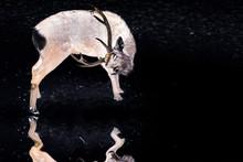 Sika Deers Walking In The Dark