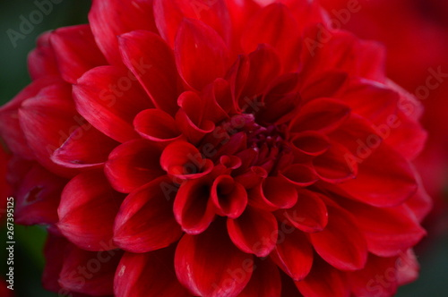 Poster de jardin Dahlia closeup of red dahlia