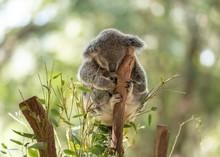 Peacefully Sleeping Koala On A...