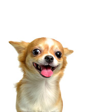 Chihuahua Dog, A Brown Male  O...