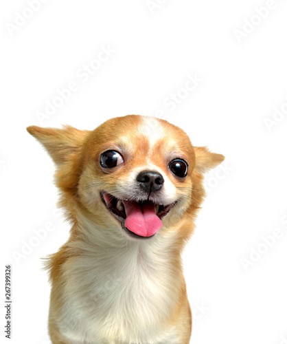 Photo Chihuahua dog, a brown male  on a white background