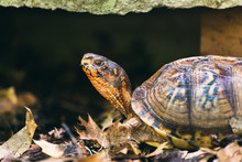 Box Turtle In The Woods