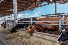 Allevamento Di Bestiamo, Mucche, Produzione Latte, Carni Macellazione