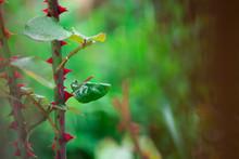 Red Rose Thorn In Garden