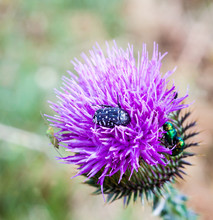 Insects On The Thistle (Carduu...