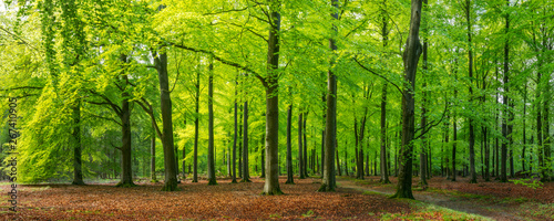 Cadres-photo bureau Route dans la forêt bright green springtime in a beech forest, Epe, Veluwe, Gelderland, The Netherlands