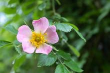 Sweetbrier Flower Spring Bloss...