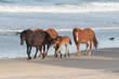 Wild Horses on the Northern End of the Outer Banks on the Beach at Corolla North Carolina