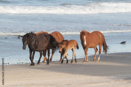 obraz lub plakat Wild Horses on the Northern End of the Outer Banks on the Beach at Corolla North Carolina