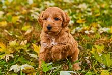 Cute Puppy Dog Animal Pet Fluffy