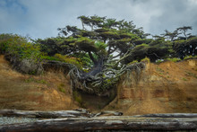 Tree Clinging To Sandy Cliff W...
