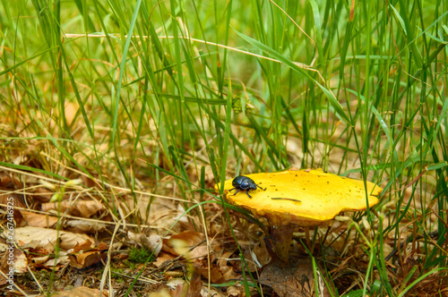 Fotografia, Obraz A boletus mushroom with a beetle on a hat in green grass.