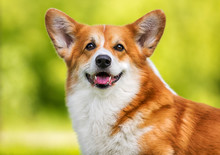 Welsh Corgi Pembroke Dog On Gr...