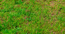Sparse Grass Cover Of Lawn