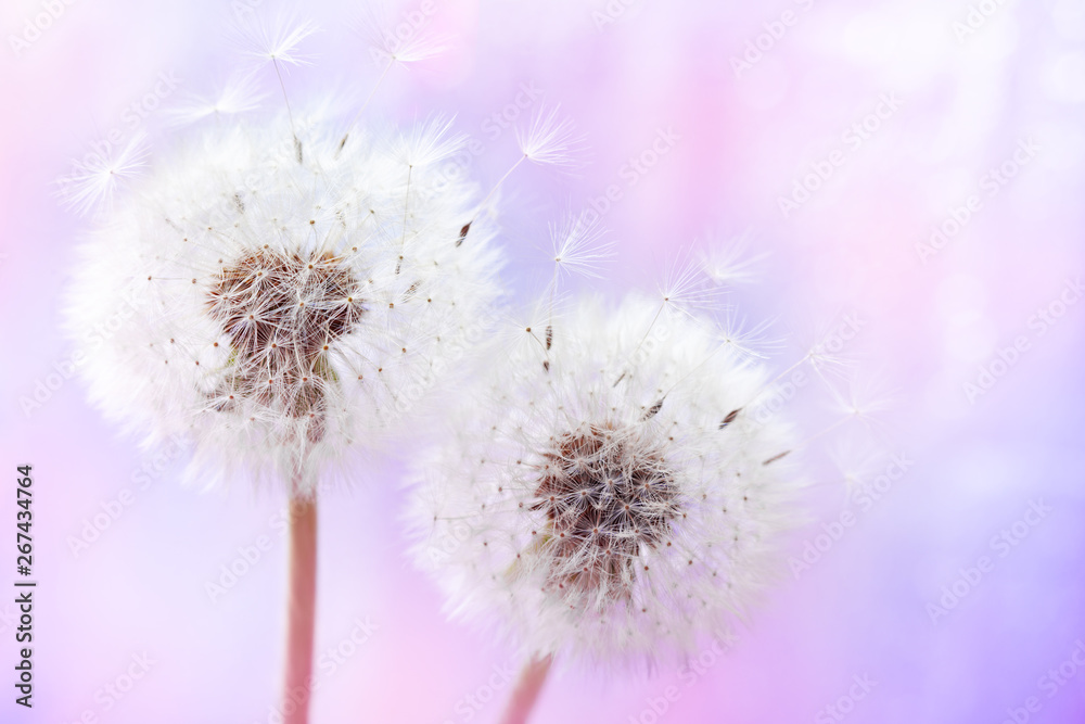 Fototapety, obrazy: Pastel background of two beautiful dandelion flowers with flying feathers. Spring or summer nature scene.