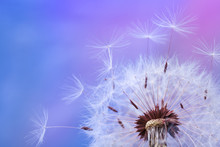 Beautiful Dandelion Flower With Flying Feathers On Colorful Background. Macro Shot Of Nature Scene.