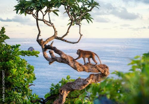 Foto op Aluminium Aap Monkey on the tree. Animals in the wild. Landscape during sunset. Kelingking beach, Nusa Penida, Bali, Indonesia. Travel - image