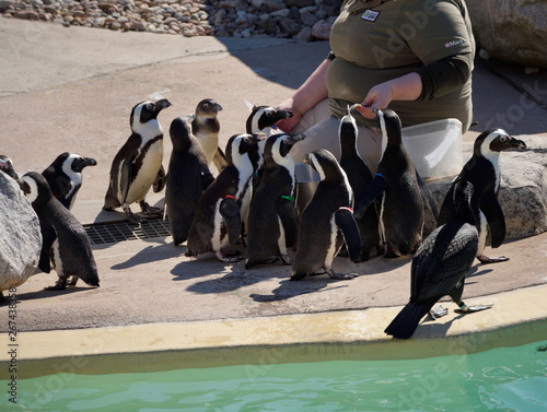 Foto Zoo keeper feeding African Penguins poolside