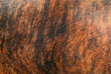 Close Up Of The Brindle Red And Black Hide Of A Nguni Cow, Native Cattle To Southern Africa.
