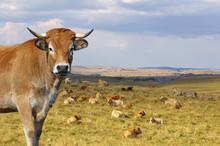 Vache Aubrac Avec Le Troupeau ...