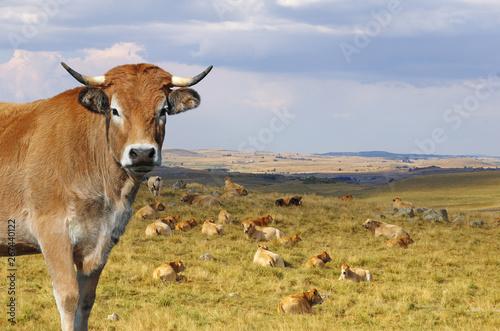 Vache Vache Aubrac avec le troupeau en arrière plan. Auvergne, France