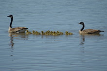 Canada Geese And Their Goslings