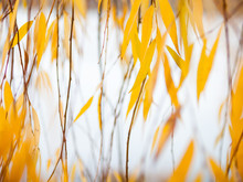 Yellow Leaves Of The Weeping Willow