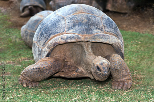 Tortue Portrait of turtle gigante standing on grass