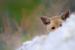Cute baby Fox. Nature Background. Fox nest.