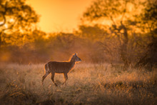 A Single Young Waterbuck (kobus Ellipsiprymnus) Walking Across A Grassy Clearing At Sunset