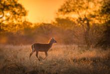A Single Young Waterbuck (kobu...