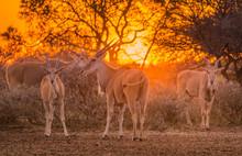A Herd Of Eland (taurotragus Oryx) Gathered Around Shrubs Under An Intense Orange Sunset