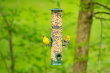 Two Goldfinches Sitting On Bir...