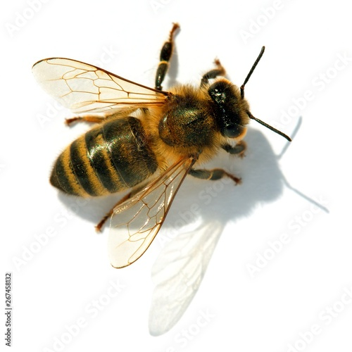 Foto bee or honeybee or honey bee isolated on the white