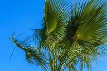 Green Sabal Palm Tree Against The Blue Sky
