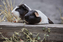 Two Cute Guinea Pigs Adorable ...