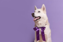 Cute White Siberian Husky Dog With Violet Bow Tie On Lilac Background. Holiday Card With Pet. Portrait Of Funny Dog. Copy Space