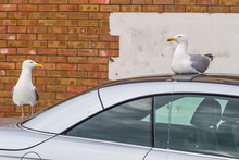 Two Seagulls Taking Ownership Of A Parked Car