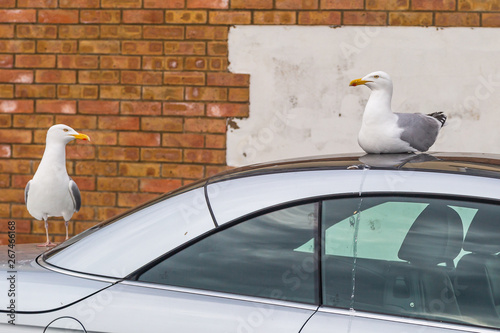 Photo Two seagulls taking ownership of a parked car