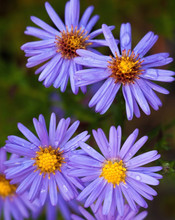 Blue Aster Flowers.