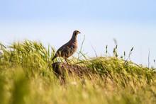 Partridge. Nature Background. Bird: Chukar Partridge. Alectoris Chukar.