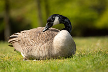 Canada Goose Lying On Grass