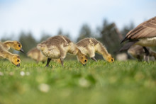Small Canada Goose Goslings Eating Grass In A Field