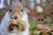 Red Squirrel, Sciurus Vulgaris, Eating Peanuts.