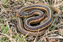 Common Garter Snake (Thamnophi...