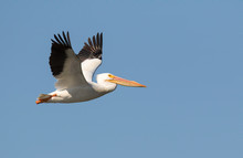 American White Pelican Flying In Blue Sky.