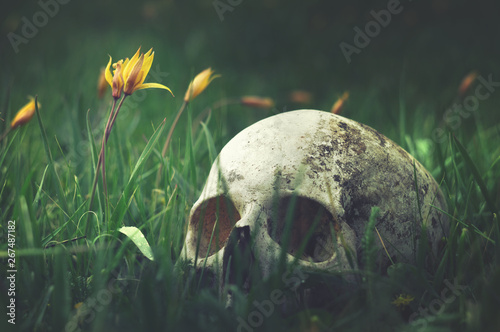 Fotografiet  Real human skull on a background of nature meadow flowers