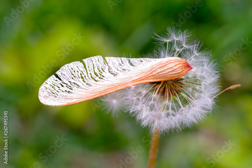 closeup view of maple seed and dandelion seed on green color
