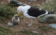Kelp Gull And Chick