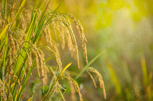 Fototapeta Ear of golden rice in the organic asian rice farm and agriculture